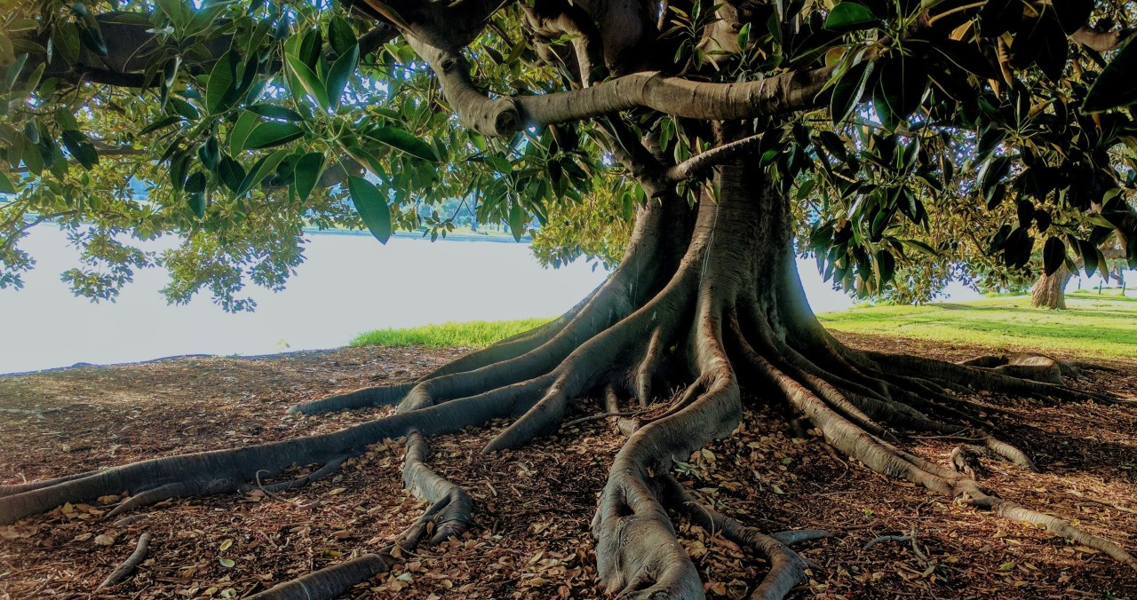 How strong team foundations are helping to provide business continuity - picture of a tree with a strong foundation of roots
